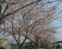 sakura_2005_02